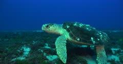 Green Sea turtle swims over reef