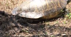 Florida Red-eared Slider (Trachemys scripta elegans) digs hole in ground