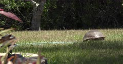 Florida Red-eared Slider (Trachemys scripta elegans) walking across an urban yard and driveway