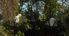 Cattle Egret resting in a tree, Bubulcus ibis