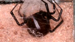 Black Widow Lays Eggs