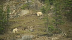 Mountain Goat, two grazing on steep hill side