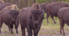 4K Wood Bison herd with baby calves grazing on grass in the rain - SLOG2 NOT Colour Corrected
