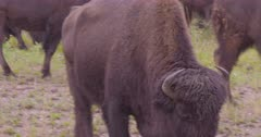 4K Wood Bison herd grazing on grass in the rain, one approached camera - SLOG2 NOT Colour Corrected