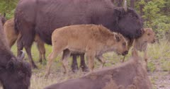 4K Wood Bison herd with calves grazing on grass in the rain, tight frame on closest one - SLOG2 NOT Colour Corrected