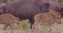 4K Wood Bison herd with calves in the rain - SLOG2 NOT Colour Corrected