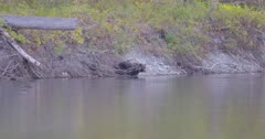 4K Grizzly Bear fishing along river shore, climbs up and walks across log, Slow Motion - SLOG2