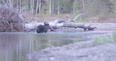 4K Grizzly bear exits river on shore, salmon jumping in water - SLOG2 Not Colour Corrected