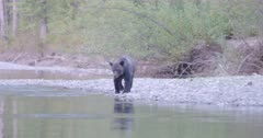 4K Grizzly bear walking in and out of river hunting for salmon - SLOG2