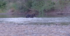4K Grizzly bear swims across river hunting for salmon, catches one and exits on to shore - SLOG2