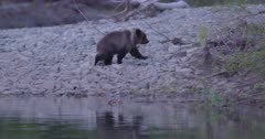 4K Grizzly mother bear and three cubs on shore of river scamper in to brush - Slow Motion - SLOG2