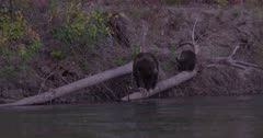 4K Grizzly mother bear and three cubs along shore of river on log catch and eat salmon, zoom out - Slow Motion - SLOG2