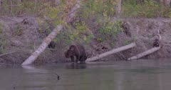 4K Grizzly mother bear and three cubs along shore of river catch and eat salmon, Cub catches salmon - SLOG2