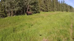 Aerial several Wood Bison crazing on grass at forest edge