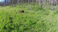 Aerial Brown & Black Bear forging along forests edge