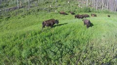 Aerial Wood Bison + caves grazing on grass at forest edge.