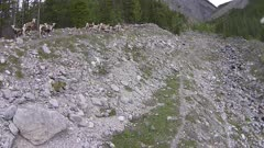 Aerial follow Stone Sheep along snow chute in Northern Rockies