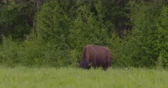 4K Lone wood Bison grazing in the grass - SLOG2