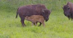 4K Wood Bison herd calves nursing, others grazing on grass, zoom in - SLOG2