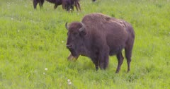 4K Wood Bison herd calves nursing, others grazing on grass, pan, tighter frame - SLOG2