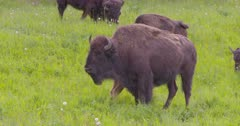 4K Wood Bison herd calves nursing, others grazing on grass, pan, tighter frame - SLOG2