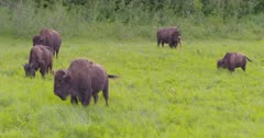4K Wood Bison herd grazing on grass, calves walking with mother, pan, tighter frame - SLOG2