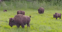 4K Wood Bison herd grazing on grass, calves walking with mother, pan, tighter frame - SLOG2