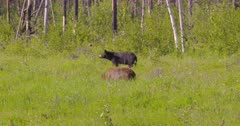 Black & Cinnamon bear eating grass - SLOG2