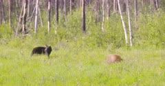 4K Black & Cinnamon bear eating grass - SLOG2