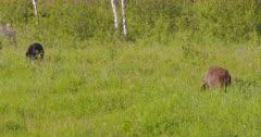 4K Black & Cinnamon bear eating grass, tighter Shot - SLOG2
