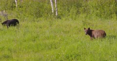 Black & Cinnamon bear eating grass, tighter Shot - SLOG2
