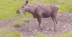 Moose young drinking/eating from a muddy mineral lick, raising head to look around periodically - SLOG2