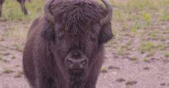 4K Wood Bison herd grazing on grass in rain - SLOG2