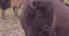 4K Wood Bison looks in to camera zoom out, follow calf in rain - SLOG2