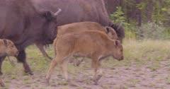 Wood Bison caves walking in large herd