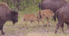 Wood Bison with caves walking in large herd. one stops to look at camera, zoom out