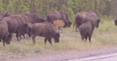 Wood Bison with caves walking in large herd.
