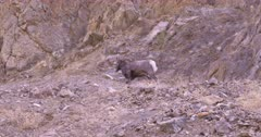 Big Horn Ram walks behind rocky hillside and disappears - SLOG2
