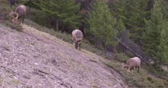 4K Big Horn Sheep RAMS on hill side grazing - SLOG2 NOT Colour Corrected