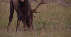 4K Elk male/Bull grazing - SLOG2