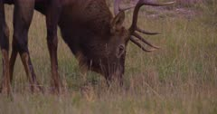 4K Elk male/Bull grazing - SLOG2 Not Colour Corrected