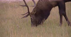 4K Elk young Buck grazing on grass side profile reverse, tighter shot - SLOG2