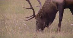 4K Elk Buck grazing on grass side profile, tighter shot, Elk turns - SLOG2