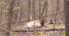 4K Elk Buck resting in forest cleaning himself, through trees, zoom in - SLOG2