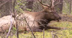 4K Elk Buck chewing while resting on forest, through trees, zoom out - SLOG2