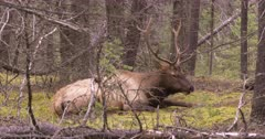 4K Elk Buck chewing while resting on forest, through trees - SLOG2