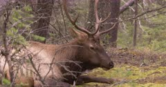 Elk Bull chewing while resting on forest, through trees - SLOG2 Not Colour Corrected
