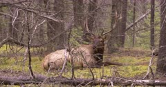 4K Elk Buck chewing while resting on forest, through trees, Wide Shot - SLOG2