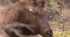 4K Elk Buck chewing while resting on forest, through trees, tight Shot - SLOG2