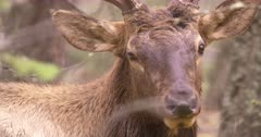 4K Elk Buck chewing while resting on forest, through trees, tight Shot, Slow Motion - SLOG2 Not Colour Corrected